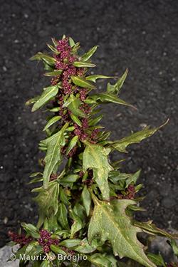 Oxybasis rubra (L.) S. Fuentes, Uotila & Borsch