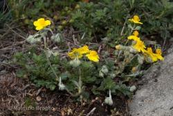 Helianthemum canum (L.) Baumg.