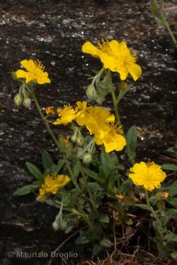 Helianthemum alpestre (Jacq.) DC.