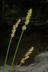 Immagine 1 di 2 - Carex otrubae Podp.