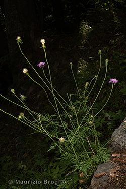 Scabiosa columbaria L.