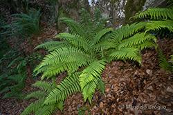 Dryopteris cambrensis (Fraser-Jenk.) J. Beitel & W.R. Buck