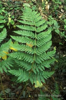 Dryopteris dilatata (Hoffm.) A. Gray