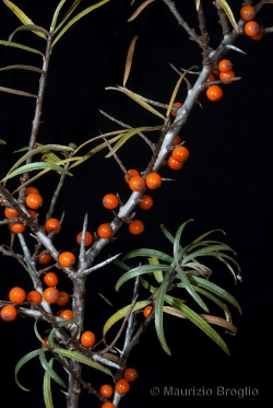 Hippophaë fluviatilis (Soest) Rivas Mart.