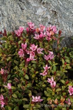 Kalmia procumbens (L.) Gift, Kron & Stevens ex Galasso, Banfi & F. Conti