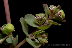 Euphorbia serpens Kunth
