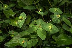 Euphorbia dulcis L.