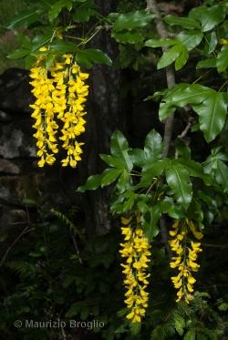 Laburnum alpinum (Mill.) Bercht. & J. Presl