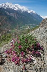 Immagine 1 di 5 - Astragalus monspessulanus L.