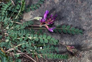 Immagine 3 di 5 - Astragalus monspessulanus L.