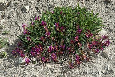 Immagine 5 di 5 - Astragalus monspessulanus L.