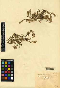 Astragalus depressus L.