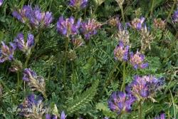 Astragalus leontinus Wulfen