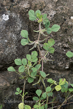Medicago monspeliaca (L.) Trautv.