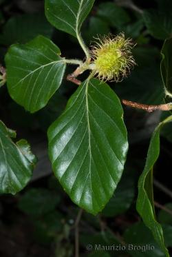 Fagus sylvatica L.