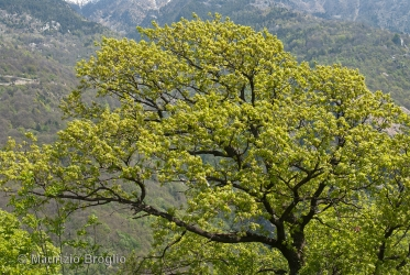 Immagine 1 di 8 - Quercus pubescens Willd.
