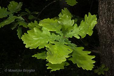 Immagine 1 di 5 - Quercus robur L.