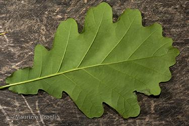 Immagine 4 di 5 - Quercus robur L.