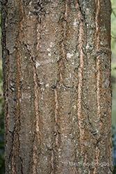 Immagine 5 di 5 - Quercus robur L.