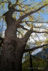 Immagine 2 di 4 - Quercus petraea (Matt.) Liebl.