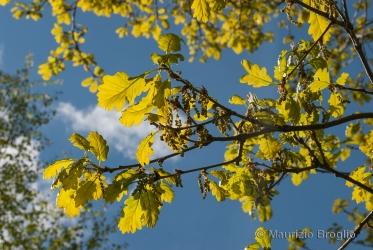 Immagine 3 di 4 - Quercus petraea (Matt.) Liebl.