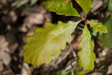 Immagine 4 di 4 - Quercus petraea (Matt.) Liebl.