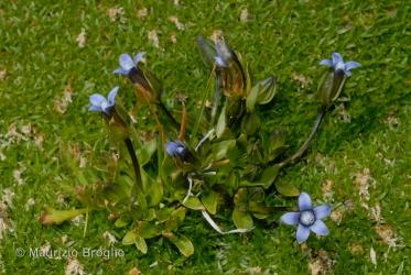 Immagine 1 di 3 - Gentianella tenella (Rottb.) Börner