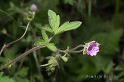 Geranium divaricatum Ehrh.