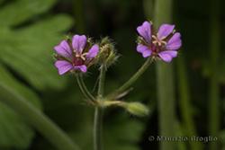 Geranium pusillum L.