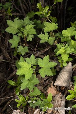Ribes rubrum L.