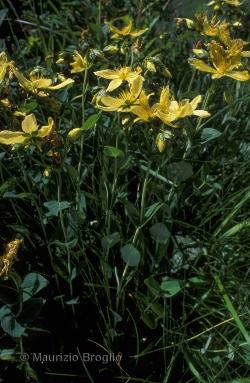 Hypericum richeri Vill.