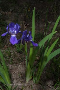 Iris perrieri Simonet ex N.Service