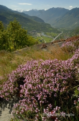 Immagine 1 di 6 - Thymus vulgaris L.