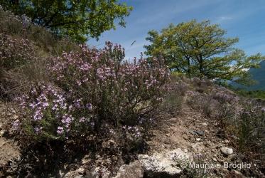 Immagine 2 di 6 - Thymus vulgaris L.