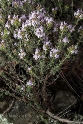 Immagine 4 di 6 - Thymus vulgaris L.