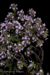 Immagine 5 di 6 - Thymus vulgaris L.