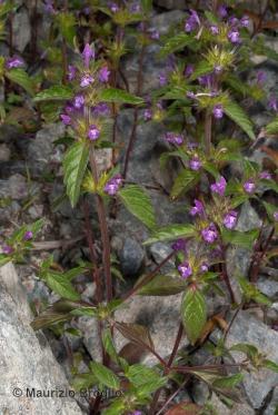 Galeopsis ladanum L.