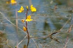 Utricularia australis R. Br.