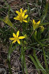 Immagine 2 di 5 - Gagea villosa (M. Bieb.) Sweet