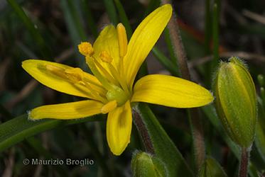Immagine 4 di 5 - Gagea villosa (M. Bieb.) Sweet