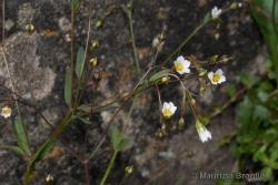 Linum catharticum L.