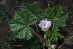 Malva neglecta Wallr.