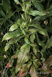 Immagine 4 di 13 - Oenothera oehlkersi Kappus ex Rostański