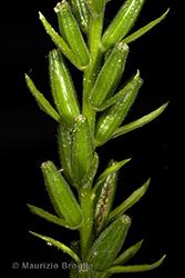 Immagine 10 di 13 - Oenothera oehlkersi Kappus ex Rostański