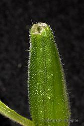 Immagine 12 di 13 - Oenothera oehlkersi Kappus ex Rostański