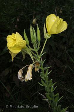 Oenothera oehlkersi Kappus ex Rostański