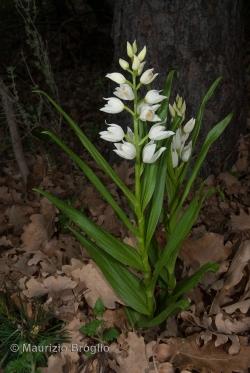 Cephalanthera longifolia (L.) Fritsch