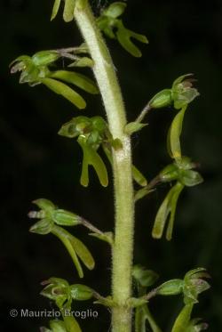 Neottia ovata (L.) Bluff & Fingerh.