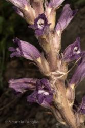 Immagine 3 di 3 - Phelipanche arenaria (Borkh.) Pomel