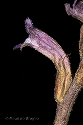 Immagine 8 di 8 - Phelipanche purpurea (Jacq.) Soják